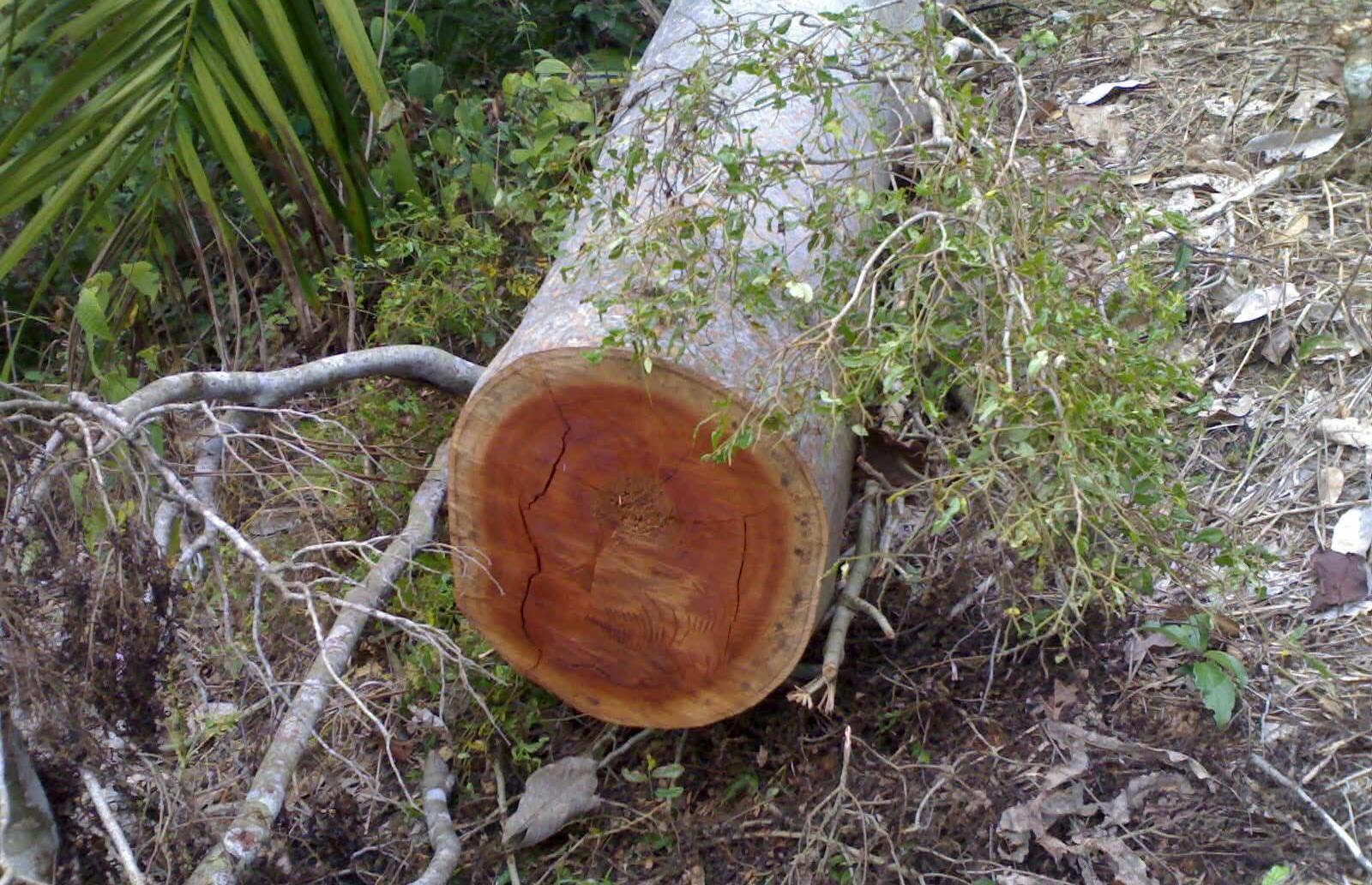penebangan pohon lindung